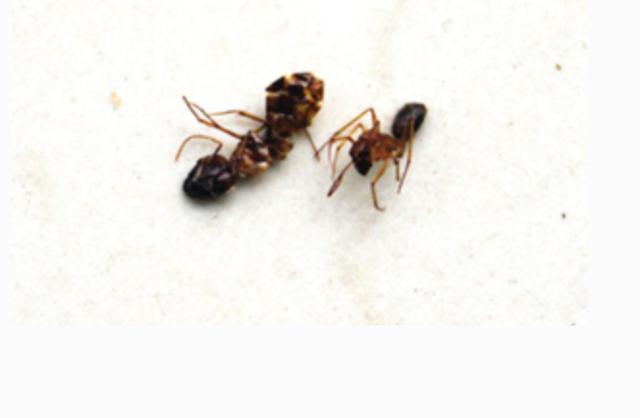 家里有蚂蚁不要急,学会这个土方法,就能让蚂蚁全部死光