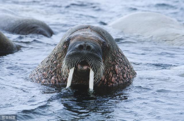 北极里的海中大象——海象