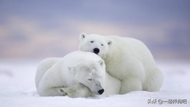 北极熊为什么不吃企鹅?答案就是这么出乎意料