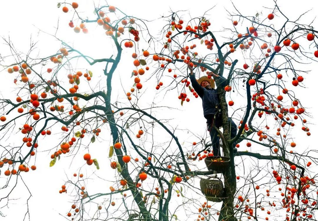 一天赚一万?农民靠卖柿子一天赚一万元,是白领2个月收入,他是如何做到的?