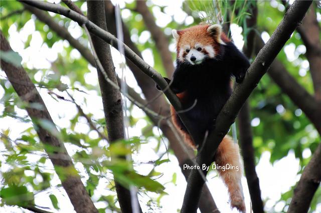 从小我们便知道大熊猫被称为中国的国宝